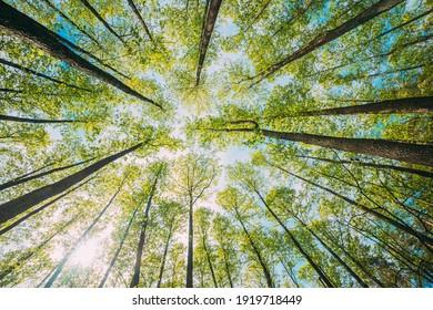 Schauen Sie in der schönen Pine Laubenwald Baumkanopie auf. Hintergrund mit breiter Ansicht. Greenwood Forest. Trunken und Zweige mit frischer Frühlingsluft.