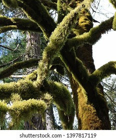 Looking up from below at moss covered tree branches in Cathedral Grove on Vancouver Island Canada