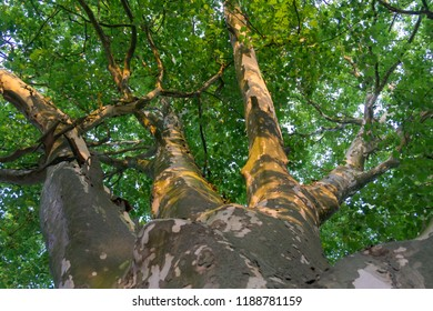 looking up to the big platanus treetop