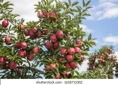 Looking up at branches loaded with red delicious apples.