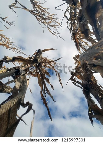 Looking up to a bright blue sky with fluffy white clouds from the bottom of corn stalks showing perspective.
