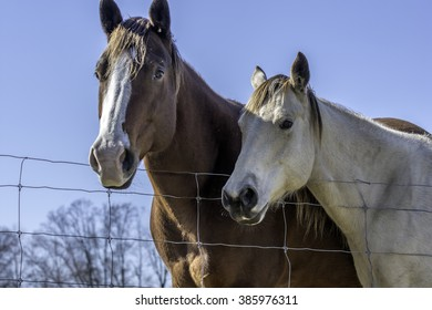 looking up at a brown and white  horse and a white horse with blue sky background in rural Alabama.