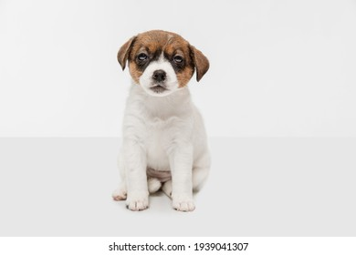 Looking at camera. Portrait of cute little puppy of Jack Russell terrier dog isolated on white background.. Concept of pets love, animal life, care. Looks sweet, delighted. Copyspace for ad, design.