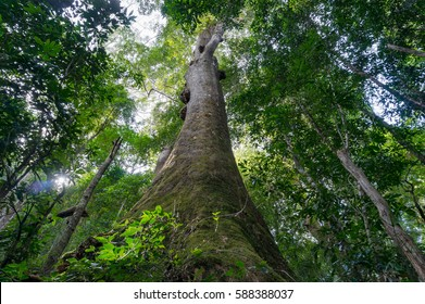 Looking up at canopy of giant tropical tree in rainforest