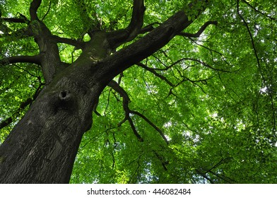 looking up at the canopy of a large old beech tree
