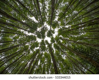 Looking up at a canopy of leafy trees