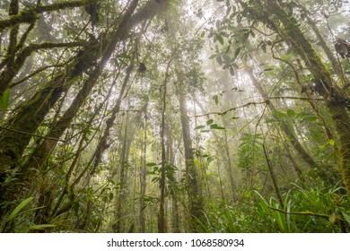 Looking to the canopy of misty montane rainforest. High on a Tepuy (flat topped sandstone mountain), home to many endemic species, above Rio Nangaritza Valley in the Cordillera del Condor, Ecuador