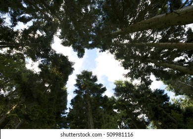 Looking up at a canopy of pine, spruce trees with sun shining through branches, blue sky and white clouds, showing wide angle of various tree trunks and foliage.