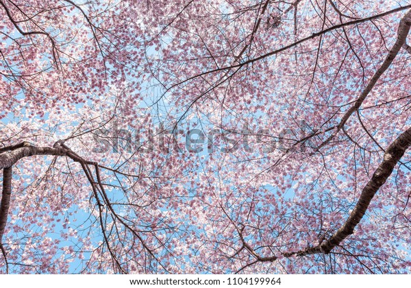 Looking Cherry Blossom Sakura Trees Isolated Backgrounds Textures Stock Image 1104199964