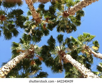 Looking up to a cluster of palm trees