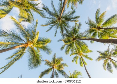 Looking up at coconut palm trees