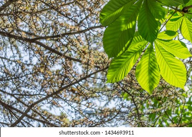 Looking up to conker tree leaves and pine tree branches.