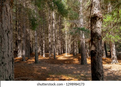 Looking deep into pine tree plantation with pine needles covered ground