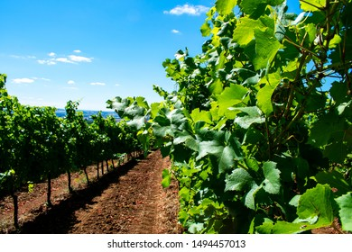 Looking down between rows of lush green grapevines, bare soil marked with tractor treads, in an Oregon vineyard in summer.