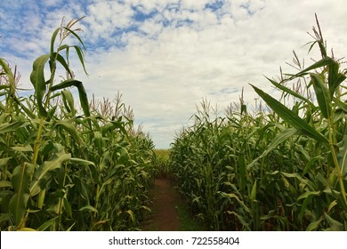 Looking down a corn maze path with a full group of corn plants and stalks on both sides of the path under a blue sky with white clouds on a nice autumn day on a farm in Bellingham, Washington.