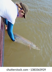Looking down at a large gray and silver muskie fish being held horizonally in the water to revive it by a woman for release in a muddy river