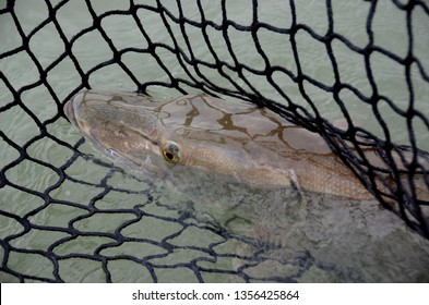Looking down on a closeup of a head of a large muskie in a fish net in a green-watered lake on a cloudy day