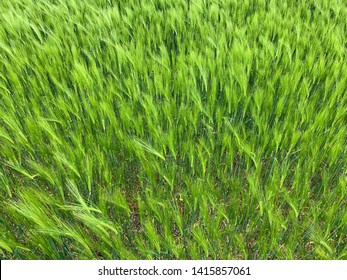 Looking down on a field of green barley