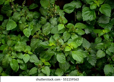 Looking down on a full patchouli plant with wet leaves after rain in backyard garden with small flowers.
