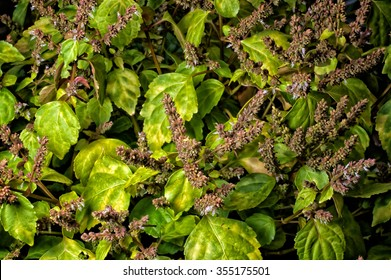 Looking down on a lush and vibrant patchouli plant in bloom with long stalks and deep depth of field.