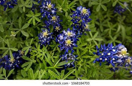 Looking down point of view on a grouping of beautiful and intensely blue springtime bluebonnet flowers in full bloom, in Ennis, Texas.