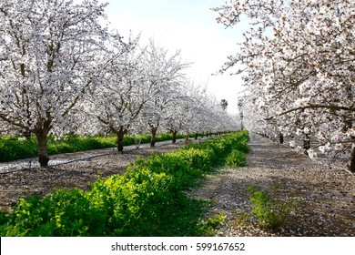 Looking down a row of almond trees in an orchard in full bloom.