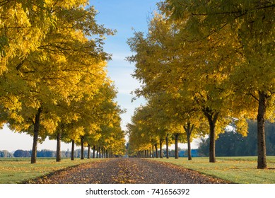 Looking down a row of golden trees.