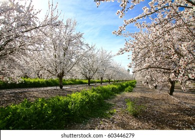 Looking down a row of mature almond trees in full bloom.