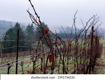 Looking down a row of winter vines in an Oregon vineyard, a dry leaf hanging on, wire trellis dripping with rain, fog in the background.