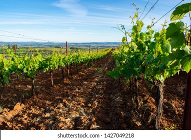 Looking down rows of grapevines, with tilled earth between rows and a closeup of leaves in the foreground.