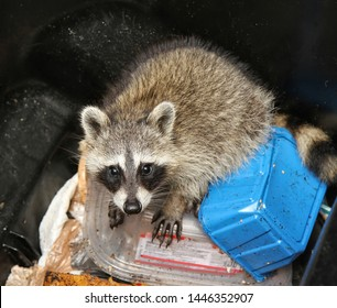Looking down at a young raccoon stuck inside a garbage bin.