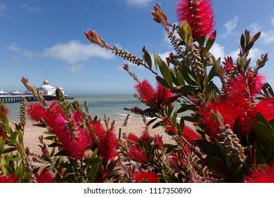 Looking at the eastbourne pier through a bottlebrush shrub with red blooms