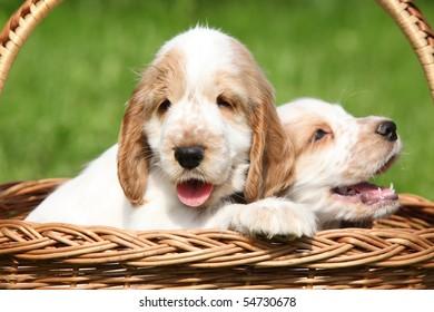 Looking English Cocker Spaniel puppies