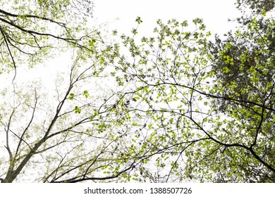 Looking up at flowering trees.  Leonardtown, MD, USA.