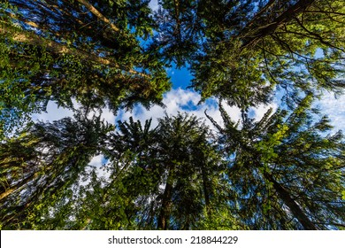 Looking up in forest, Conifer Treetops, Natural Background