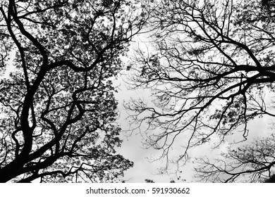 Looking up in Forest - Tree branches nature abstract - monochrome