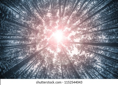 looking up at the forrest in winter, landscape photograph with spruce trees going into perspective. Light at the end of a tunnel concept