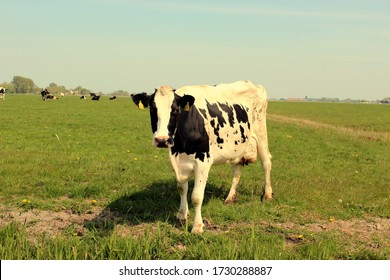 Looking Frisian cow on the edge of the pasture. Photo was taken on a sunny day during the spring.