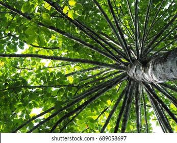 Looking up at giant tree (Wild cinchona) at Kaeng Krachan National Park, Thailand.