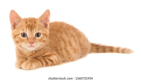 Looking ginger kitten, isolated on white. Lying posture.