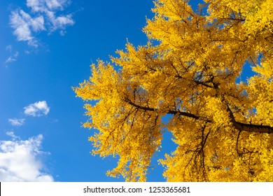Looking up to a gingko biloba tree with vibrant yellow leaves in autumn or fall against a blue sky. Seasonal or season background with copy space.