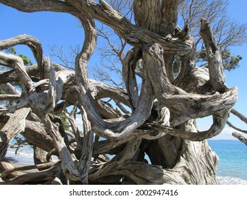 Looking gnarled branches and roots of an upturned Pohutukawa tree, Auckland, New Zealand.