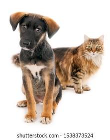 Parecen cachorros cruzados griegos y un gato de pelo largo. Enfoque selectivo en el perro. Fondo blanco.
