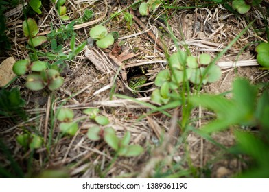 Looking green lizard in the hole. A lizard hiding in the grass in spring. Close-up view lizard is hiding in herbs