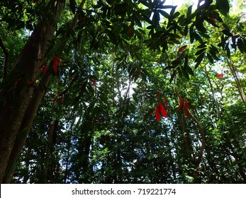 Looking Up at Green and Red Leaves of a Rudraksha Tree