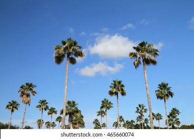 Looking up at a group of tall Washintonia Palm trees, they are also known as the Mexican Fan Palm.  The Washingtonia Palm can reach heights of up to 100 feet tall.