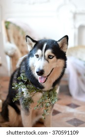 Looking Husky Dog