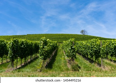 Looking into the accurate and straight lines of a vineyard, a hill and a lonely tree in the back - angled view