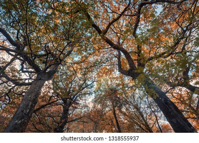 Looking up into autumnal oak tree branches againt blue sky background