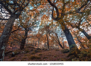 Looking up into autumnal oak tree branches againt blue sky background. Forest of Snowdonia in North Wales, UK